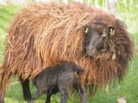 Zwarte schapen